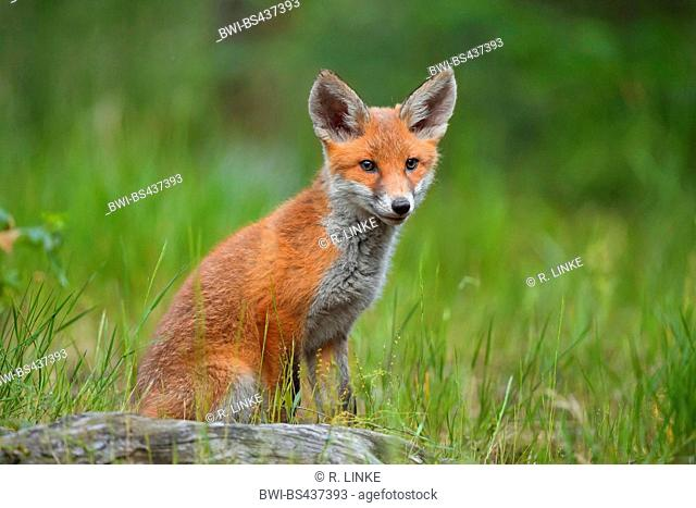 red fox (Vulpes vulpes), pup sitting on a tree snag watching, Germany
