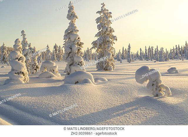 Winter landscape with clear blue sky with snowy trees and warm light, Gällivare county, Swedish Lapland, Sweden