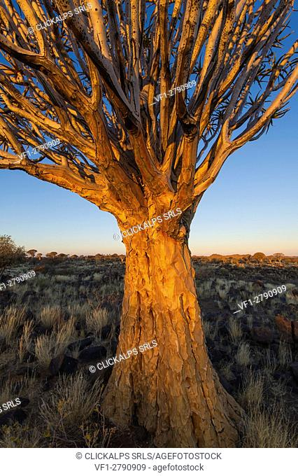 Quivertree forest, Southern Namibia, Africa. Aloe in bloom