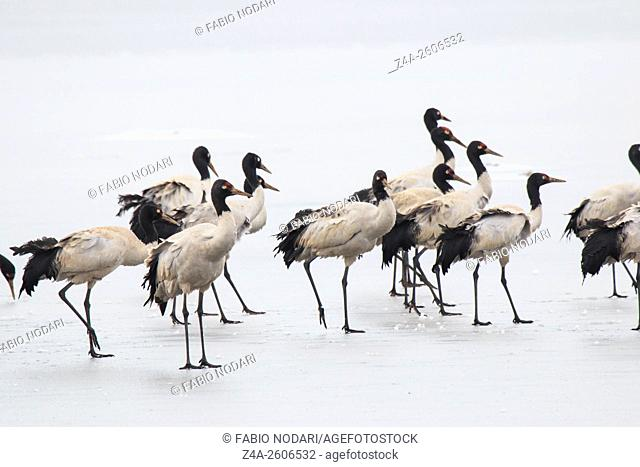 Black necked crane (Grus nigricollis) on Da Shan Bao in Yunnan China