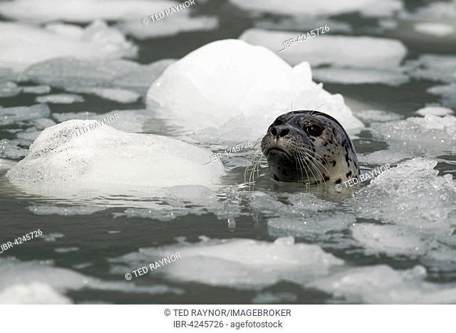 Harbour Seal or Common Seal (Phoca vitulina), Surprise Glacier, Prince William Sound, Alaska