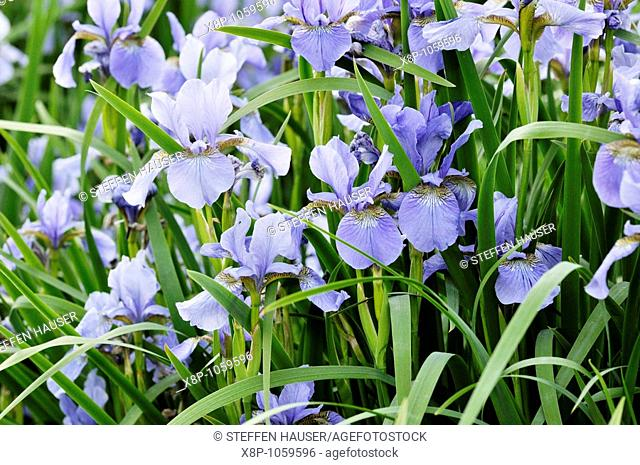 Siberian iris Iris sibirica 'My Love'