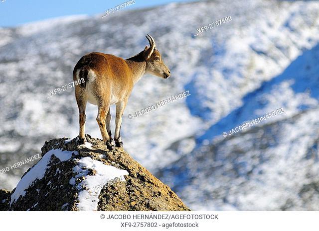 Spanish ibex (Capra pyrenaica victoriae)Sierra de Gredos Natural Park.Avila province.Castilla y León.Spain