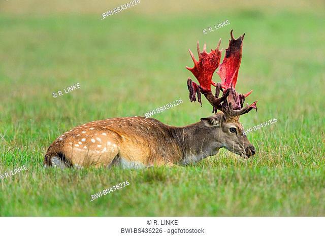 fallow deer (Dama dama, Cervus dama), Deer sweeps the Bast, Germany, Bavaria