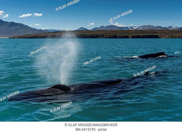 Humpback whales (Megaptera novaeangliae) swimming and blowing, Eyjafjörður, Iceland