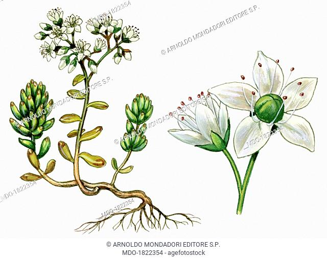 White stonecrop (Sedum Album), by Giglioli E., 20th Century, ink and watercolour on paper. Whole artwork view. Drawing of the plant with flowers