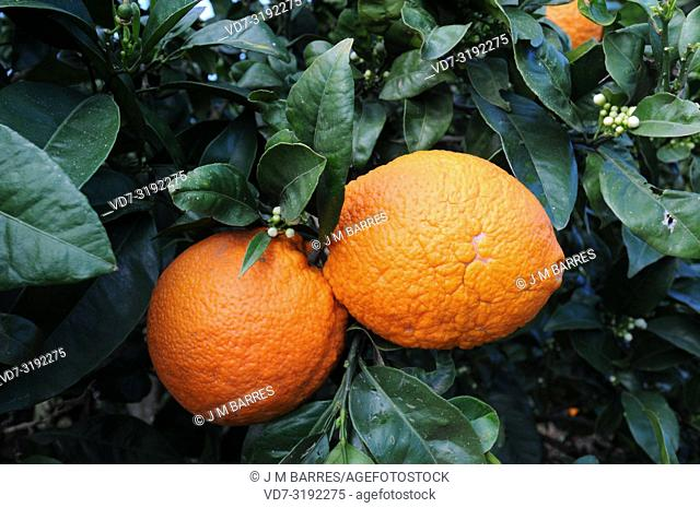 Bitter orange (Citrus x aurantium) is a hybrid between Citrus maxima and Citrus reticulata. Its fruits are used to elaborate marmalade
