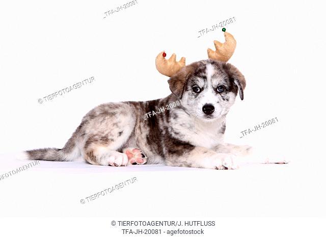 Akita-Inu-Mongrel Puppy