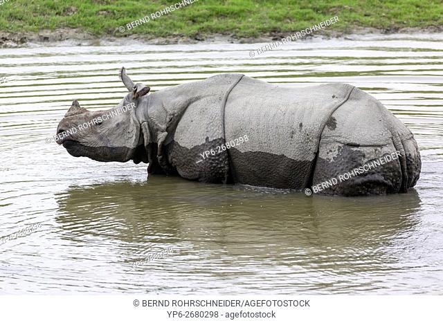 Indian rhinoceros (Rhinoceros unicornis) bathing in waterhole, threatened species, Kaziranga National Park, Assam, India