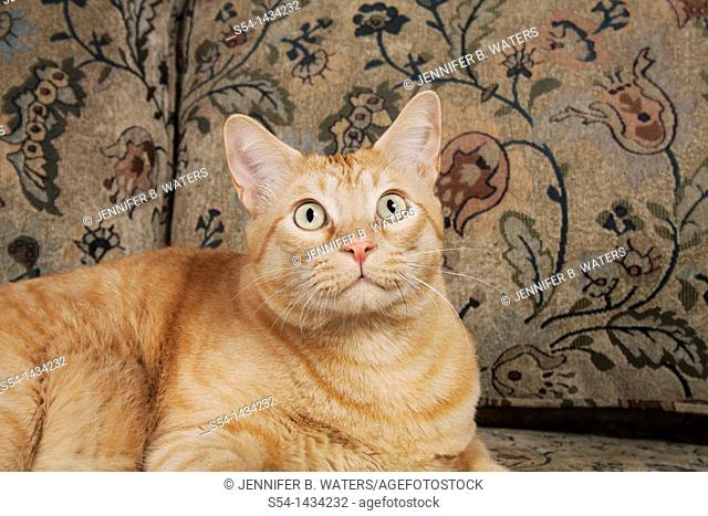 An orange tabby cat on a couch