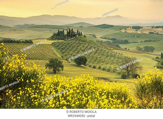 Yellow flowers frame the gentle green hills of Val d'Orcia at dawn, UNESCO World Heritage Site, Province of Siena, Tuscany, Italy, Europe