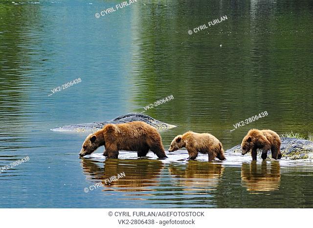 Grizzly Family Wrangell Alaska