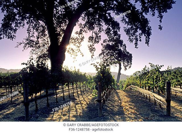 Morning light on vineyards along Vineyard Drive, Paso Robles, San Luis Obispo County, California