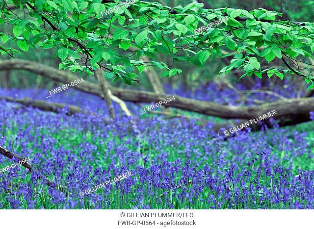 Bluebell wood, Hyacinthoides non-scripta