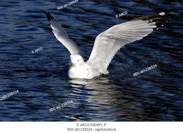 Ring-billed Gull, flapping its wings, Montreal, Canada / Larus delawarensis