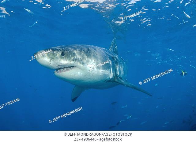 Great White Shark, Carcharodon carcharias, Guadalupe Island, Baja California, Mexico