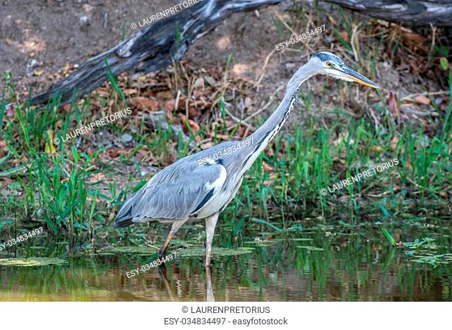 A grey heron searches for food in the water in Kruger National Park, South Africa