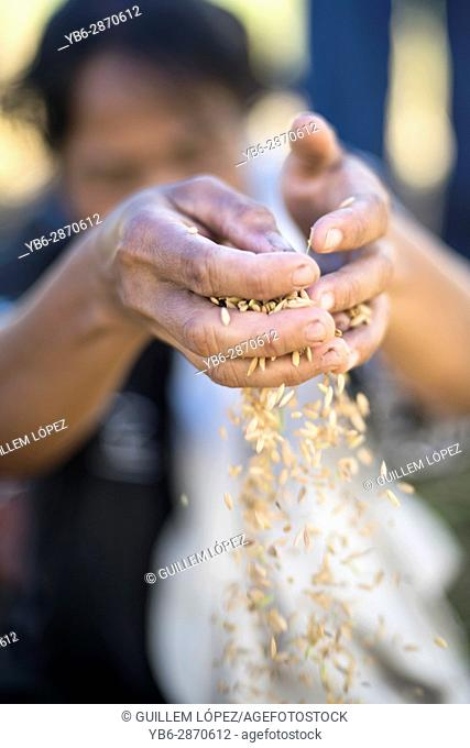 Close-up view of hands holding rice grains, Harau Valley, Sumatra, Indonesia