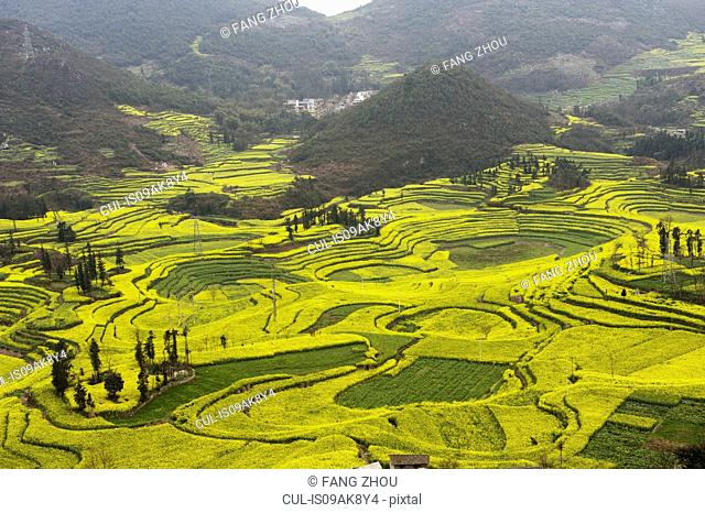 Field terraces of blooming oil seed rape plants, Luoping,Yunnan, China