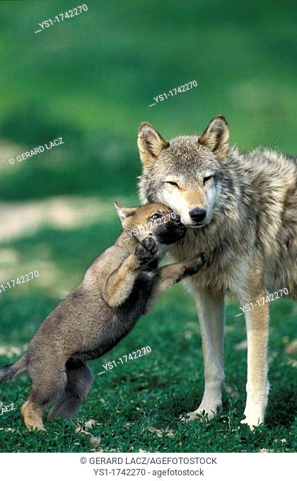 European Wolf, canis lupus, Pup playing with Female