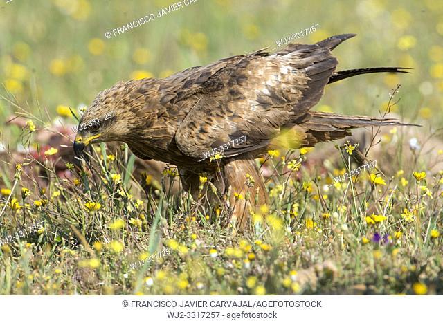 Black kite (Milvus migrans) in a meadow in Extremadura, Spain