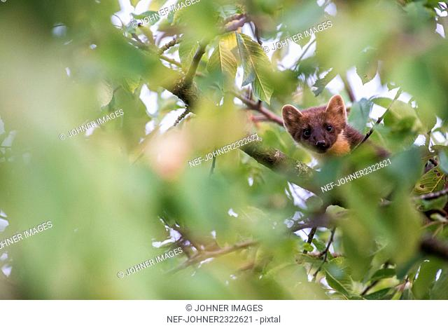 Pine marten on tree