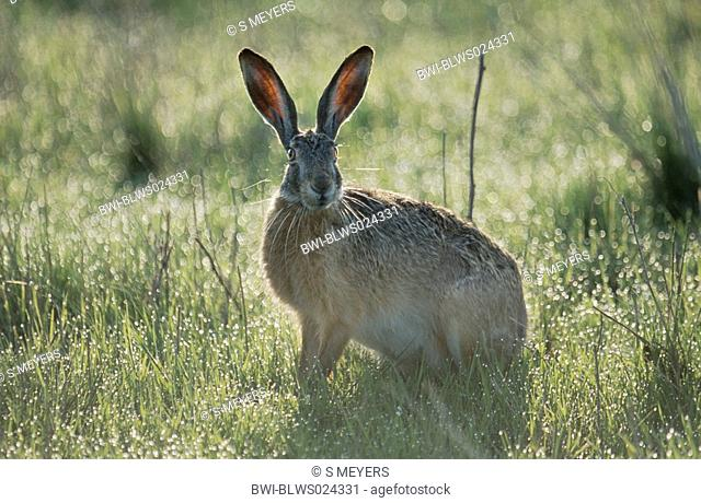 European hare Lepus europaeus, sitting on meadow in morning dew, Germany