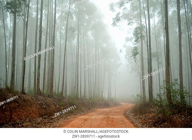 Road through Eucalyptus forest, Agatha, Tzaneen district, Limpopo province, South Africa