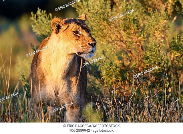 African lioness (Panthera leo) in morning light. Moremi National Park, Okavango delta, Botswana