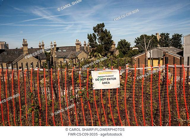 Japanese knotweed, Fallopia japonica behind a red plastice barier fence saying 'Do not Enter' in an East London suburb