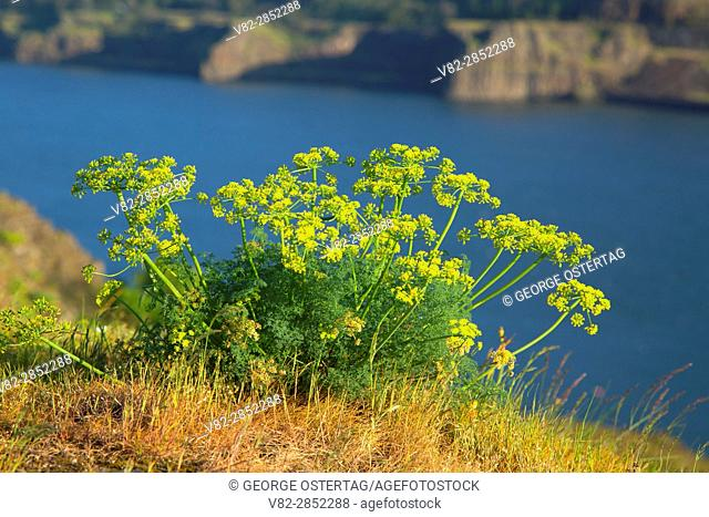 Desert parsley, Tom McCall Preserve, Columbia River Gorge National Scenic Area, Oregon