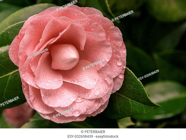 pretty pink camellia japonica after a short rain in the spring