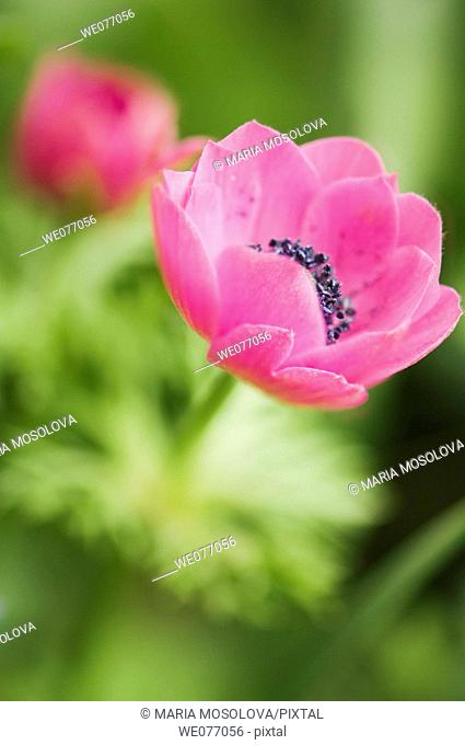 Pink Anemone Poppies. Anemone coronaria. April 2007, Maryland, USA