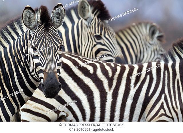 Burchell's Zebra (Equus quagga burchelli) - Kruger National Park, South Africa