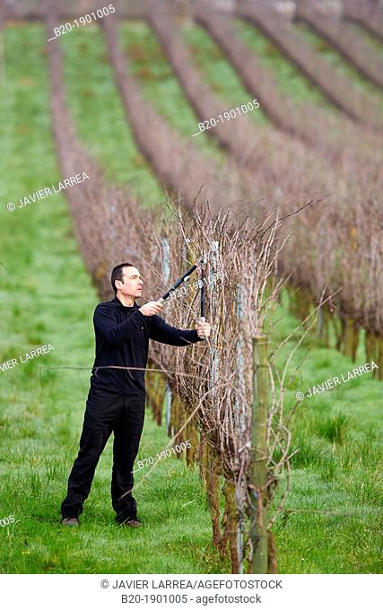 Farmer pruning vineyard, Txakoli, Gipuzkoa, Basque Country, Spain