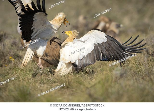Two Egyptian vulture (Neophron percnopterus) fighting on ground. Pre-Pyrenees. Lleida province. Catalonia. Spain. Endangered species