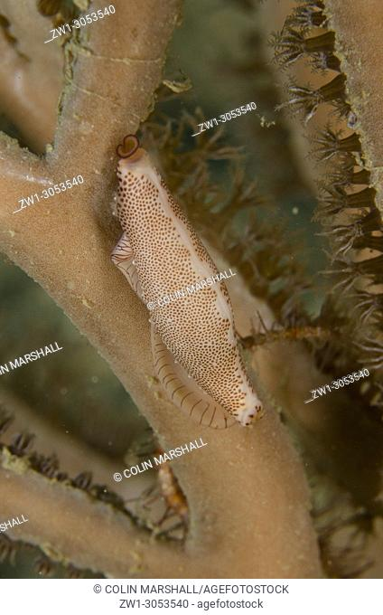 Depressed Spindle Cowrie (Hiatavolva depressa) on coral fan, Tasi Tolu dive site, Dili, East Timor (Timor Leste)
