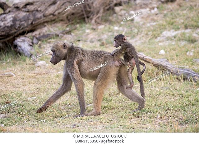 Africa, Southern Africa, Bostwana, Chobe i National Park, Chobe river, Chacma Baboon (Papio ursinus), mother and baby