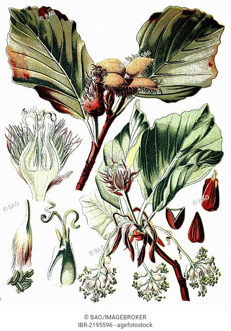 European beech (Fagus sylvatica), historical chromolithography, 1870
