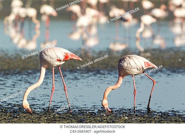 Greater Flamingo (Phoenicopterus roseus) - Feeding by filtering the water with their beaks. At the Laguna de Fuente de Piedra near the town of Antequera