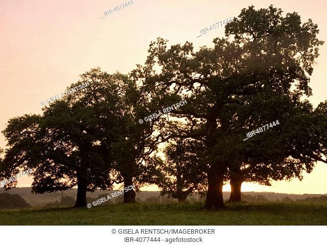 Oak trees at sunrise, at Beberbeck, Hesse, Germany
