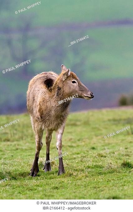 Pere Davids deer (Elaphurus davidianus), female in grass, south Wales, United Kingdom, Europe
