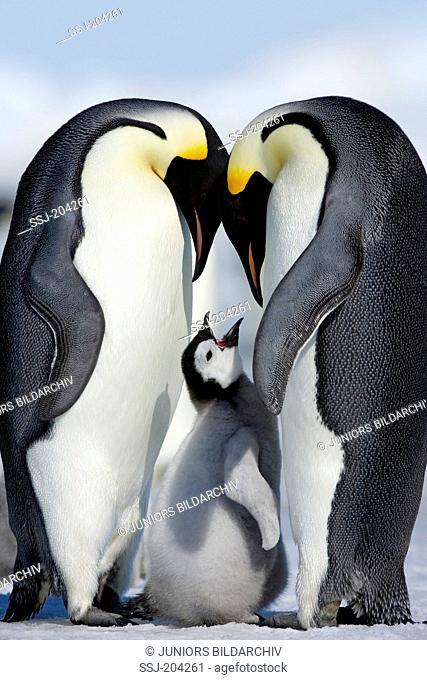 Emperor Penguin (Aptenodytes forsteri). Parent birds with chick. Snow Hill Island, Antarctica