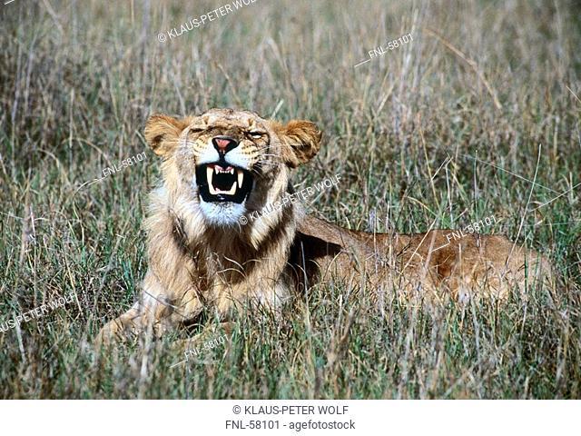 Lion resting in field, Kenya