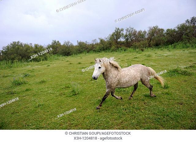horse from Camargue, Grau du Roi, Gard department, France, Europe