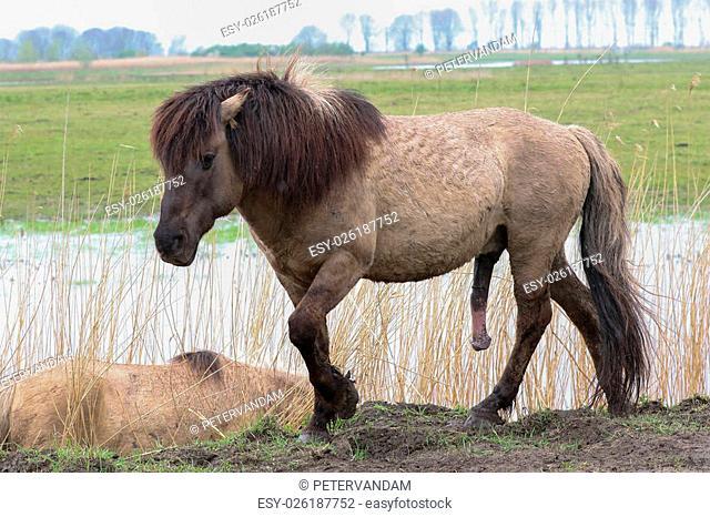 Konik horse walking in an aroused state