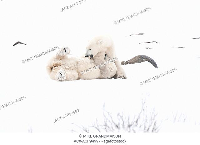 Polar bears sparring Ursus maritimus on frozen tundra, Churchill, Manitoba, Canada