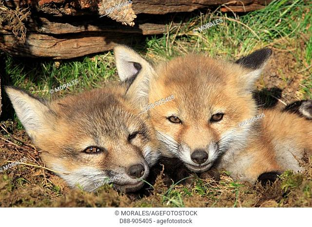 Red Fox (Vulpes vulpes), 7 week old cubs