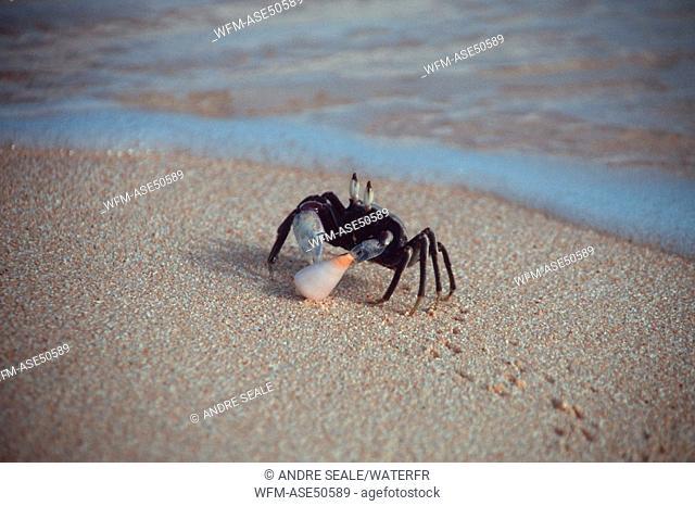 Crab feeding on shell, Rongelap, Pacific, Marshall Islands