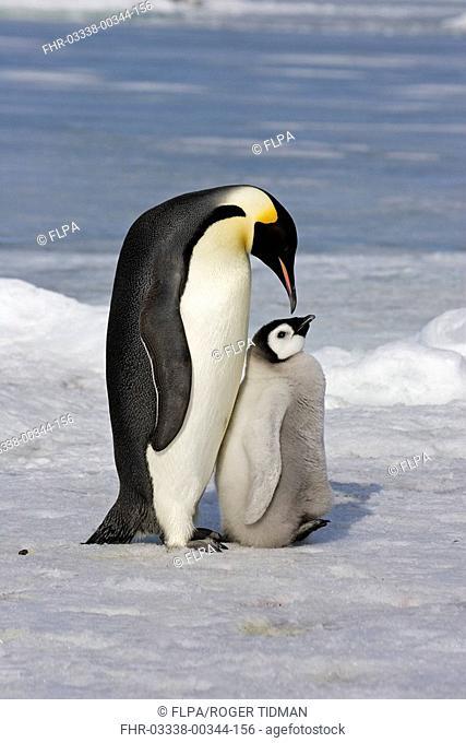 Emperor Penguin Aptenodytes forsteri adult and chick, Snow Hill Island, Antarctic Peninsula, Antarctica
